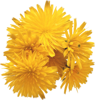 dandelion png free download 10