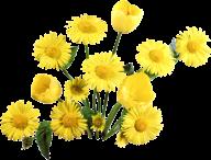 dandelion png free download 11