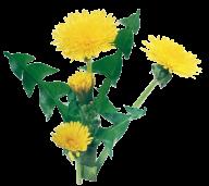 dandelion png free download 13