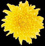 dandelion png free download 14