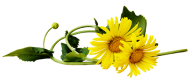 dandelion png free download 15