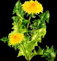 dandelion png free download 16