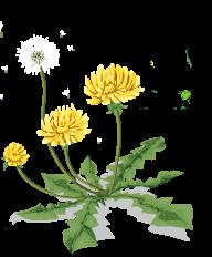 dandelion png free download 17