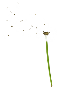 dandelion png free download 18
