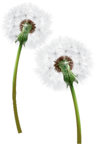 dandelion png free download 2