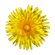 dandelion png free download 20