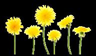 dandelion png free download 21