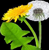 dandelion png free download 24