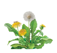 dandelion png free download 25