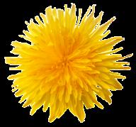 dandelion png free download 26