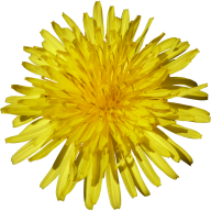 dandelion png free download 27