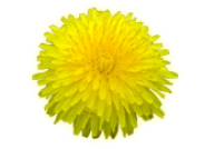 dandelion png free download 28