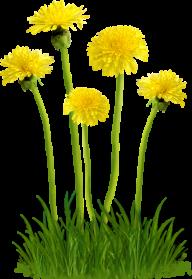 dandelion png free download 3