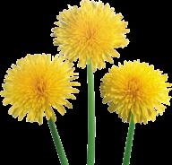 dandelion png free download 4