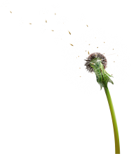 dandelion png free download 5