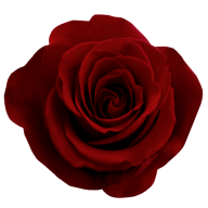 dark red flowered rose free png download