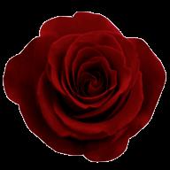 dark red flowered rose free png download