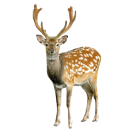 Deer Looking Png