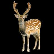 Deer Looking Png