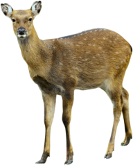 Deer Png Cute