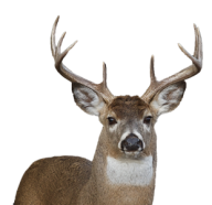 Deer Png Face