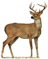 Deer Png For Web Site