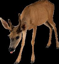 Deer Png Looking for Food