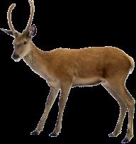 Deer Png With Horns