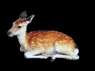 Deer Sitting Png