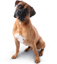 Dog Png Image Free