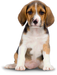 Dog Png Image Looging At You
