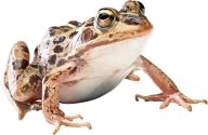 download frog png free