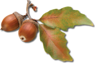 Dried Acorn png With Leaves