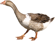 duck png free download 5