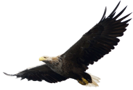 eagel png free download 21