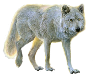 ehite walking wolf free png download
