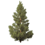 Fir Tree Free PNG Image Download 1