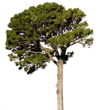 Fir Tree Free PNG Image Download 11