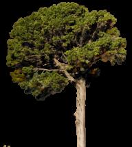 Fir Tree Free PNG Image Download 11
