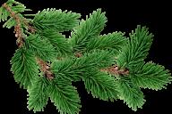 Fir Tree Free PNG Image Download 17