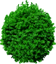 Fir Tree Free PNG Image Download 2