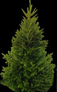 Fir Tree Free PNG Image Download 20