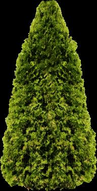 Fir Tree Free PNG Image Download 21