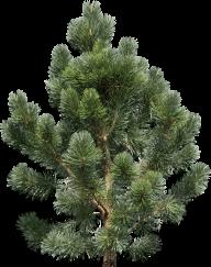 Fir Tree Free PNG Image Download 24