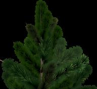 Fir Tree Free PNG Image Download 26