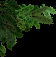 Fir Tree Free PNG Image Download 29