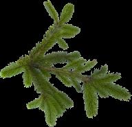 Fir Tree Free PNG Image Download 30