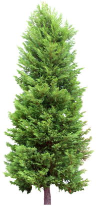 Fir Tree Free PNG Image Download 5