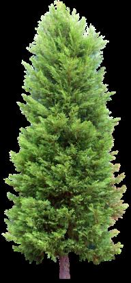 Fir Tree Free PNG Image Download 5