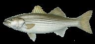 Fish Free PNG Image Download 1